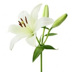 Single Stem Lily (FFTL1)