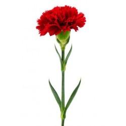 Single Stem Red Carnation (FFTC1)