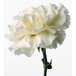 Single Stem White Carnation (FFTC2)