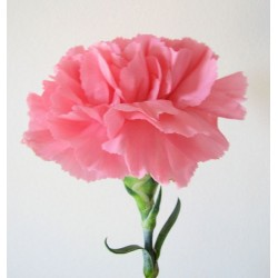 Single Stem Pink Carnation (FFTC4)