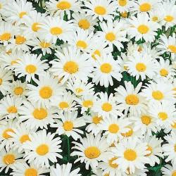 Chry Daisy, Pom Flower (FFDP1)
