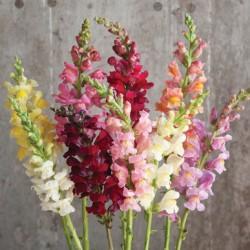 Snapdragon Flower (FFWSD1)